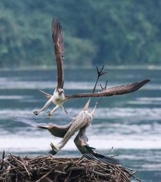 The Oakland Press Blogs: Earth's Almanac: Osprey attacks great blue heron: GET OFF MY NEST!
