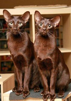 The Havana Brown Cat is a breed of solid chocolate-colored cats that are exceedingly rare with an 'endangered' existence. Interestingly, the Havana Brown in the Pretty Cats, Beautiful Cats, Animals Beautiful, Cute Animals, I Love Cats, Crazy Cats, Cool Cats, Image Chat, Gatos Cats