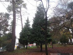 -Árvore da família das Pináceas Ciprestes