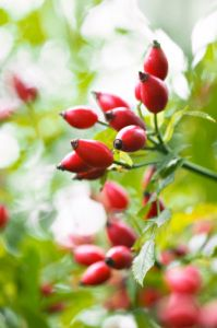 Do you know some of the health benefits of Rosehips?