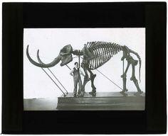 Mastadon americanus, Newburg Mastadon, 1900-1935