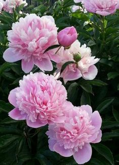 New flowers love beautiful peonies 16 ideas One of the most affectionate plants on Beautiful Flowers Wallpapers, Beautiful Roses, Flowers Nature, Pretty Flowers, Pink Roses, Pink Flowers, Wedding Table Flowers, Peonies Garden, Peony Flower
