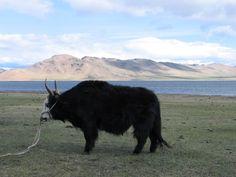 Mongolischer_Yak.JPG (1600×1200)