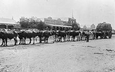 A bullock team in the main street of Rainbow, Victoria, c. In the background, the Rainbow Argus printing office and Skendall, Chemist. Melbourne Victoria, Pikes Peak, Borderlands, Western Australia, Back In The Day, Main Street, Historical Photos, Old Photos, Equestrian