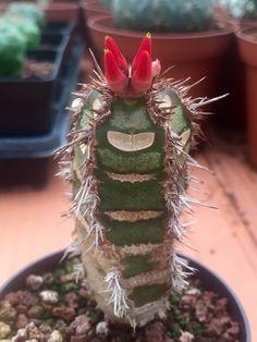 Euphorbia neohumbertiie