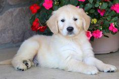Luther   Keystone Puppies: Puppies for Sale   Health Guaranteed    #golden #retriever #keystonepuppies