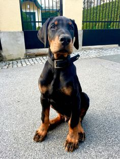 Six awesome dog supplies Baby Puppies, Baby Dogs, Cute Puppies, Cute Dogs, Dogs And Puppies, Doggies, Rottweiler, Chien Dobermann, Weimaraner