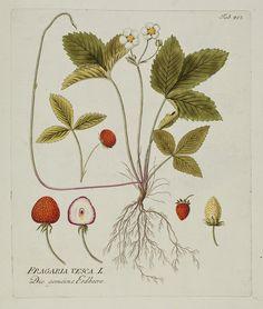 Strawberry : Icones Plantarum Medicinalium, Joseph Jacob Plenck, 1788-1803.