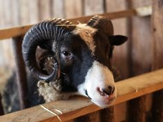 Weird and Bizarre Sheep Breeds: The Multi-horned Ones