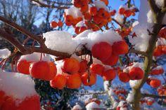 Zierapfel mit Früchten im Winter bei Schnee