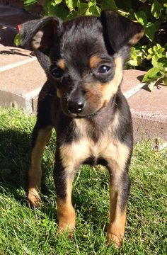Chumlee the Chihuahua Mix