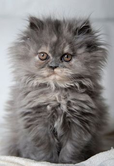 This blue cream Persian kitten is a real beauty