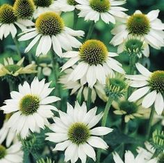 Baby Swan Echinacea - Echinacea purpurea - The white flowers are very similar to 'White Swan;' the plants are dwarf, well-branched plants grow only to 20 inches tall. 'Baby Swan' is excellent at the front of the border or in containers. A Fleuroselect Quality Mark winner.