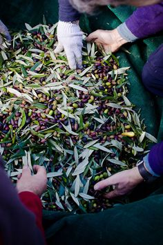 olives harvest by viviane perenyi #essenzadiriviera.com | www.varaldocosmetica.it/en