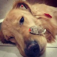 Based in Brazil, along with his human owner and at least eight pet birds, 'Bob' is a golden retriever and his best friends–a chubby hamster and eight birds. Cute Baby Animals, Animals And Pets, Funny Animals, Unlikely Animal Friends, Hamsters As Pets, Love My Dog, Cat Sleeping, Tier Fotos, Pet Birds