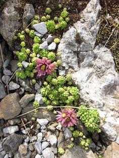 sukkulenten arten eignen sich perfekt f r einen sonnigen steingarten steingarten pinterest. Black Bedroom Furniture Sets. Home Design Ideas