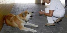 Maya, il cane che ha aspettato per sei giorni la sua padrona fuori dall'ospedale - Corriere.it