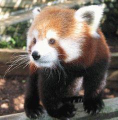 Red Panda at the Utica Zoo