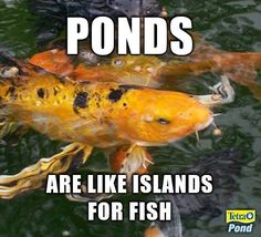 Ponds are like islands for fish. Water Curtain, Water Containers, Ponds Backyard, Water Plants, Water Features, Koi, Container Gardening, Islands, Water Gardens