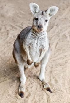"A kangaroo baby or ""joey"" is about the size of a jelly bean when it's born. 06/2011."