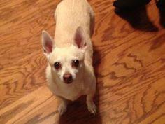 Chihuahua dog for Adoption in Chatham, VA. ADN-594257 on PuppyFinder.com Gender: Female. Age: