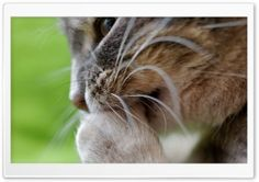 Cat Cleaning HD Wide Wallpaper for Widescreen