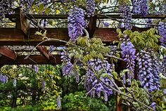Purple Wisteria in full bloom provides a shaded covering on a small backyard wooden pergola, located in Madisonville, Kentucky.