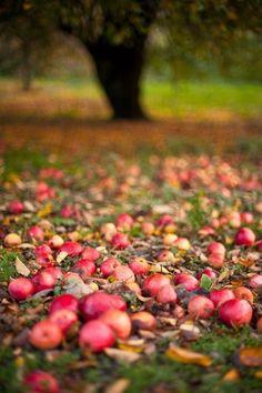 {fall apple picking} Fall Apples or Apples Fall La Ilaha Illallah, All Nature, Autumn Inspiration, Happy Fall, Fall Season, Apple Season, Autumn Leaves, Autumn Harvest, Autumn Fall