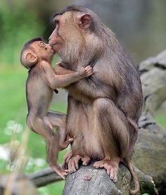 Such wonderful love primates show to their young. Primates, Mammals, Cute Baby Animals, Animals And Pets, Funny Animals, Strange Animals, Beautiful Creatures, Animals Beautiful, Pretty Animals