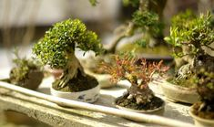 >Amazing tips for bonsai care, from beginners to experts< Bonsai Tree Care, Indoor Bonsai Tree, Bonsai Art, Bonsai Plants, Bonsai Garden, Bonsai Trees, Mini Bonsai, Succulent Bonsai, Vases