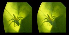 https://flic.kr/p/Yget8t | Shadow: cross view 3D | In natural light in the field. The illusion of depth required the spider to move between shots in just the right way. probably impossible to repeat in this way with a live subject.
