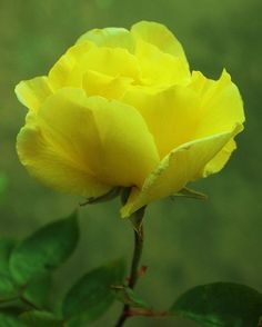 ~~Yellow Rose by ekaterina | http://roseflowergardens.blogspot.com