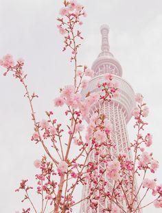 Sakura in Tokyo Sky Tree.