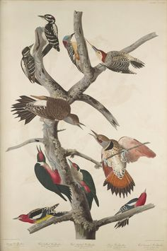 """The Birds of America, Plate #416: """"Hairy Woodpecker, Red-bellied Woodpecker, Red-shafted Woodpecker, John James Audubon, 1827–1838, Transfer from the North Carolina State Library"""