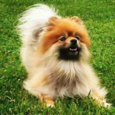 Lost Dog - Pomeranian - Galloway, OH, United States 43119