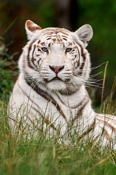 """This reminds me of a white tiger I used to know. His paws were soft and his feline fur was silky. He was a feline in harmony and we used to love, laugh and play like the days would never end. His nickname was and will always be """"Tigre"""""""