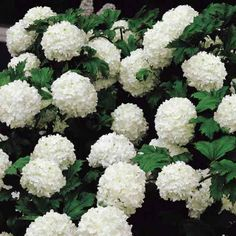 vibernum | Snowball Viburnum | Garden Coach Photos
