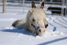 Too much snow even for a mini horse.