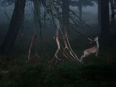 Royal Velvet Photograph by Szymon Bakota, National Geographic Your Shot  Victorious in autumn clashes with rivals, a fallow deer luxuriates in the fog of London's Richmond Park.