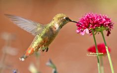 humming birds wallpapers and backgrounds | Hummingbird and flowers - Widescreen hummingbirds Wallpapers 1440*900 ...