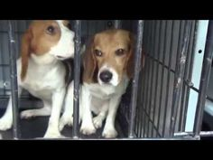 38 beagles were freed from labs rather than being euthanized. 38 families will welcome into their homes. Here is more about this story: https://ca.news.yahoo.com/blogs/good-news/beagles-freed-from-lab-cages-see-the-outside-world-172721080.html