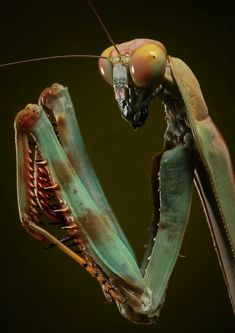 insects Plistospilota: Photo by Photographer Igor Siwanowicz - Insect Crafts, Insect Art, Cool Insects, Bugs And Insects, Beautiful Creatures, Animals Beautiful, Cute Animals, Macro Fotografie, Cool Bugs