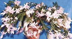 Schlumbergera truncata - Pesquisa Google