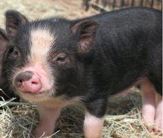 All Pig Breeds   Swine