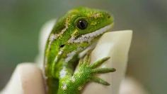 Image result for green gecko nz pictures Animals Beautiful, Geckos, Lizards, Pictures, Image, Collection, Green, Cutest Animals, Photos