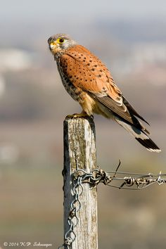 The Common Kestrel - Photo by Karl Philipp Schwager.