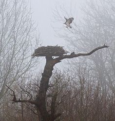 The arrival of the first #osprey - definitely a sign that #spring's on the way! Week in wildlife - guardian.co.uk
