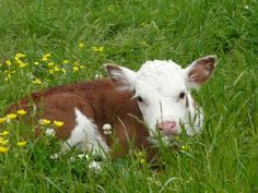 Hereford calf born in May