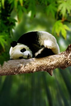 ♂ baby panda on the tree