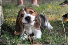 This beagle puppy's smile will warm your heart!!